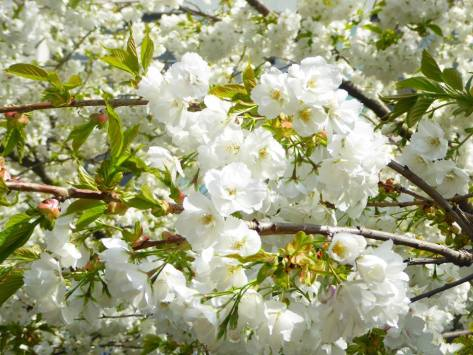 white cherry blossoms.jpg