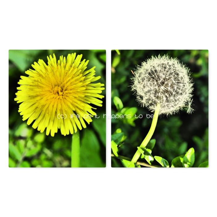 dandelions blog.jpg