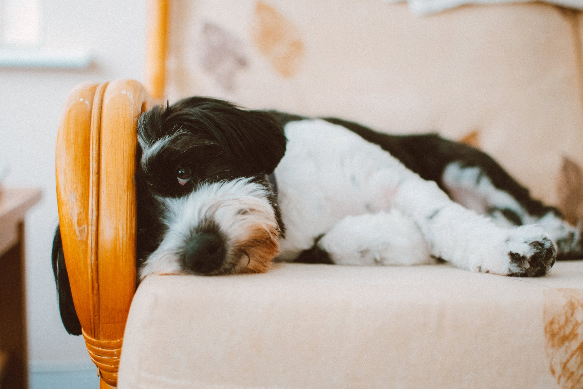 selective focus photography of long coated white and black dog lying on white cushion