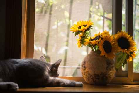gray cat near brown vase with sunflowers