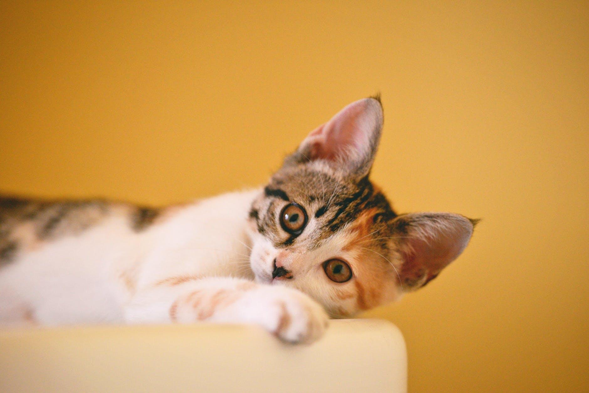 calico cat on focus photo