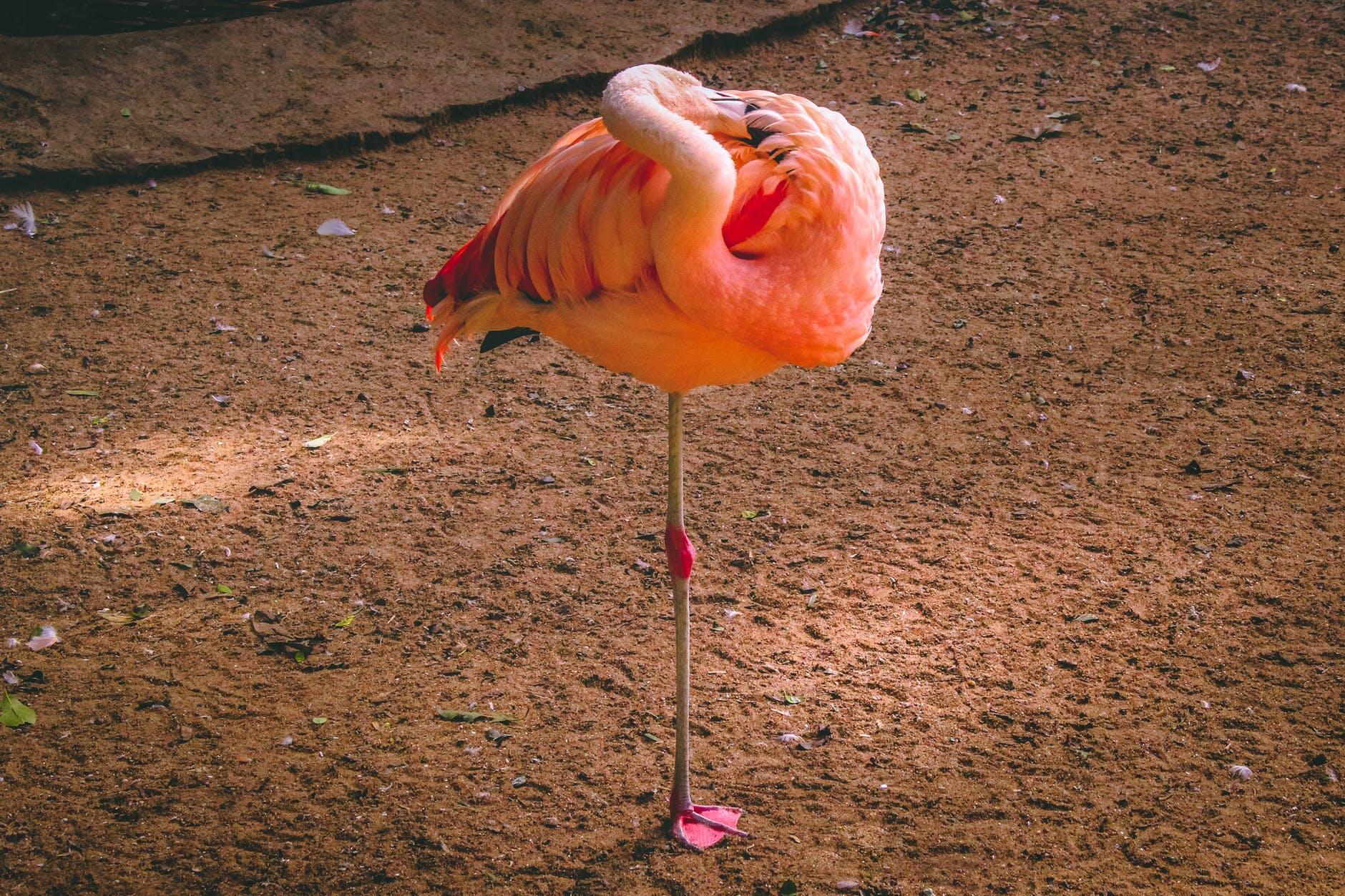 flamingo standing on brown soil