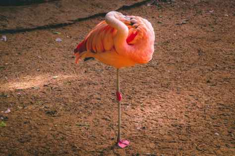 flamingo standing on brown soil